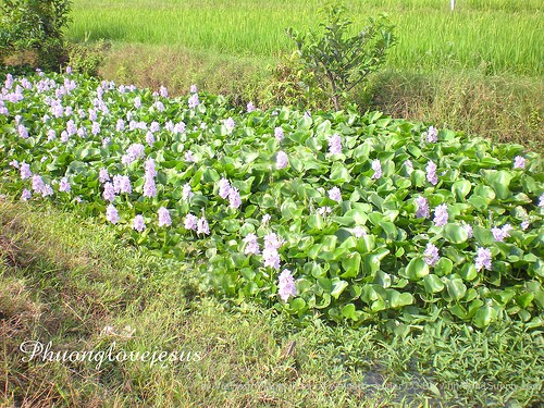 a little overgrown with the water hyacinths